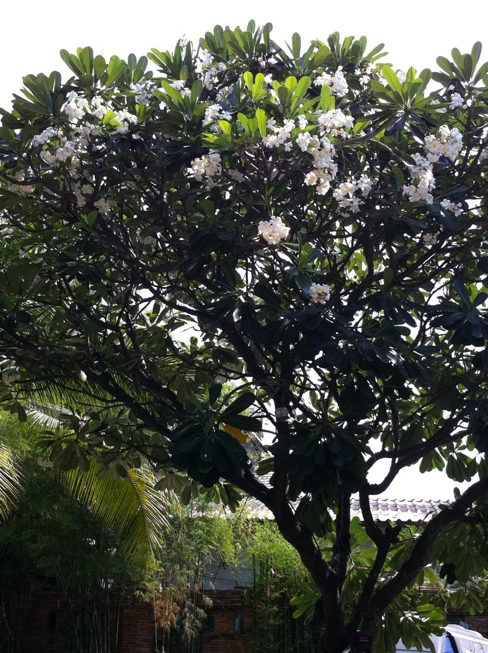 Fleurs de frangipanier...