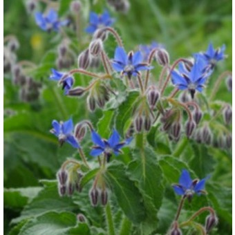 bourrache-bleue