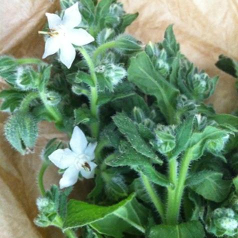 fleurs de bourrache iodées